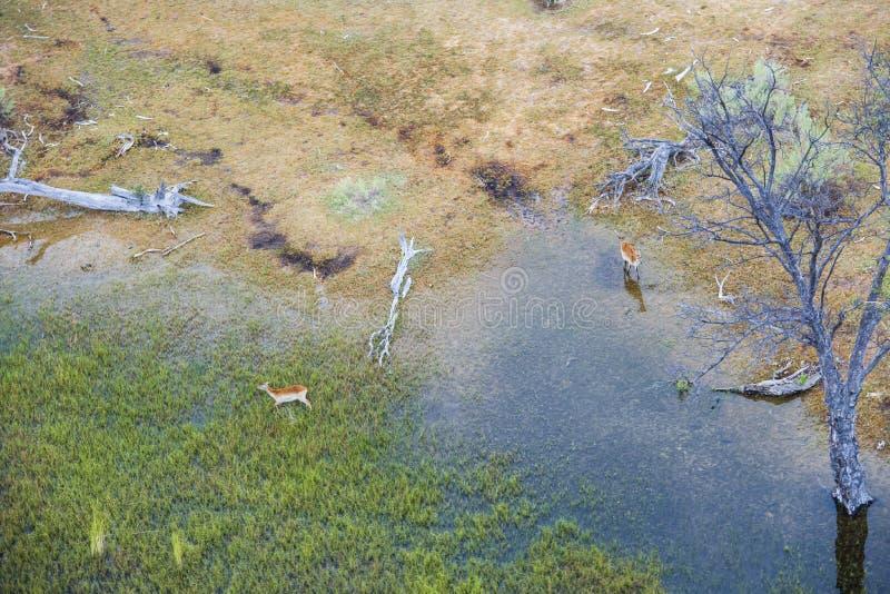 De luchtdelta van meningsokavango met impala's stock afbeeldingen