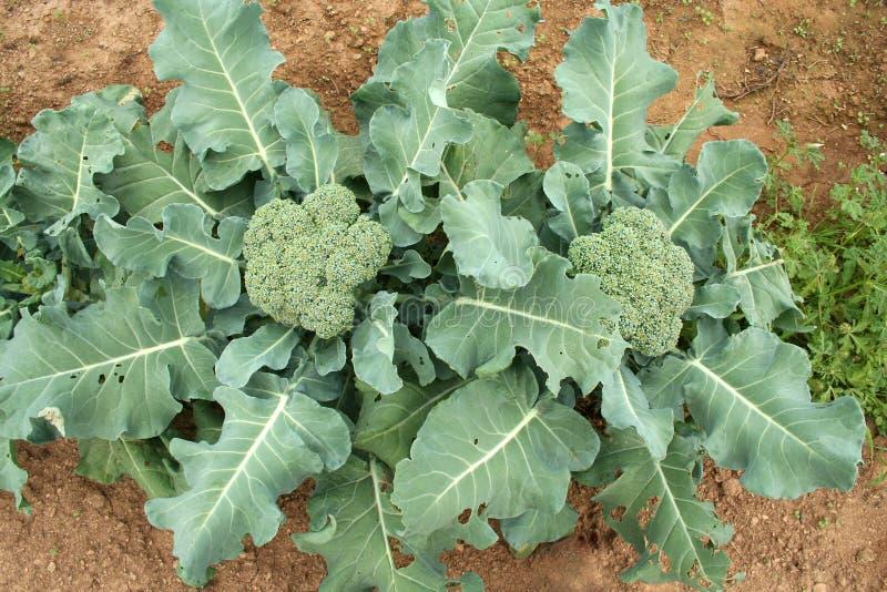 De luchtmening van broccoli stock foto's