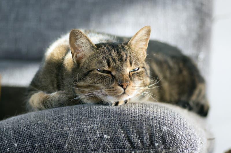 De luie slaperige marmeren gestreepte kat, portret van het boring van binnenlandse gestreepte kat ligt op grijze bank royalty-vrije stock afbeeldingen