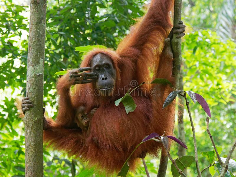 De luie Wildernis van Orang-oetanutan Sumatra royalty-vrije stock afbeelding