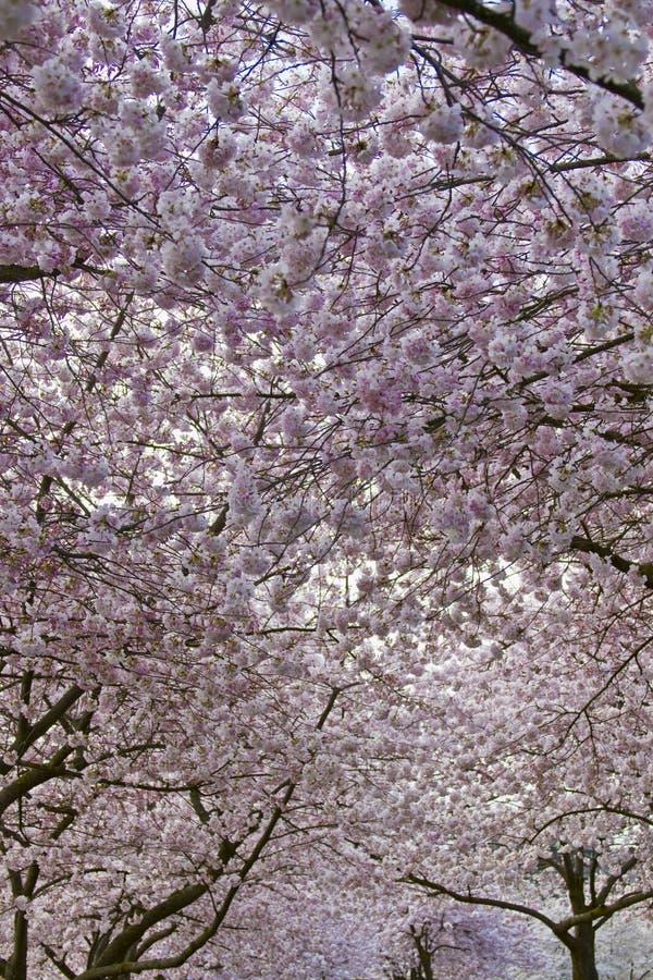 De Luifel van de Bloesem van de kers in de Tijd van de Lente stock afbeelding