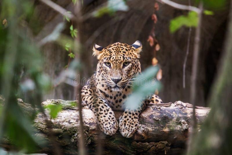 De luipaard die van Ceylon op een houten logboek liggen royalty-vrije stock afbeelding