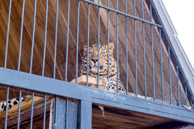 De luipaard gromde achter de kooi stock foto's