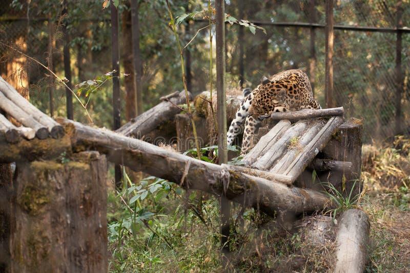 De luipaard heeft een rust die op een houten dwarsligger liggen stock fotografie