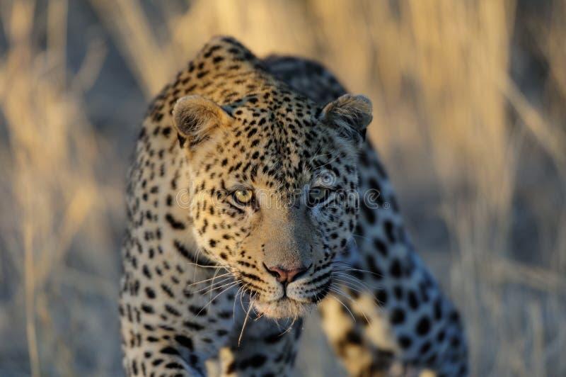 De luipaard kijkt aandachtig stock fotografie