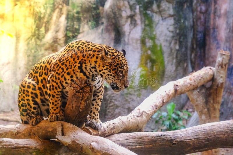 De luipaard met ochtendzonsondergang zit stock afbeelding