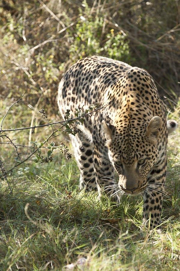 Download De Luipaard Op Snuffelt Rond Stock Foto - Afbeelding bestaande uit prowls, struik: 25077132