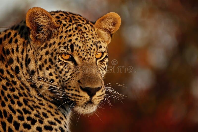 De luipaard staart royalty-vrije stock afbeelding