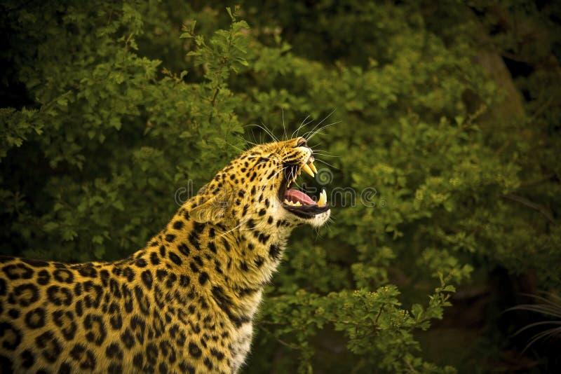 De Luipaard van Amur stock fotografie