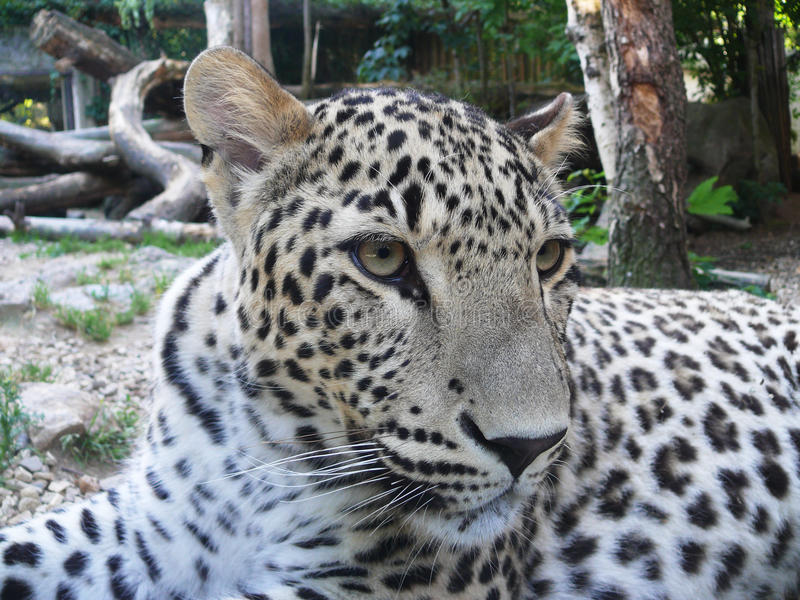 De Luipaard van Ceylon royalty-vrije stock afbeeldingen
