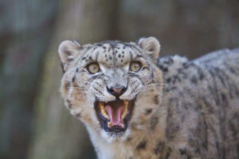 De luipaard van de sneeuw royalty-vrije stock afbeelding