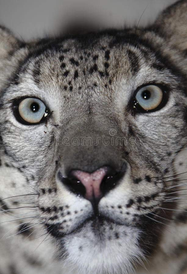 De luipaard van de sneeuw stock foto