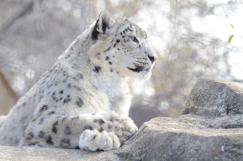 De luipaard van de sneeuw op rotsen stock afbeelding