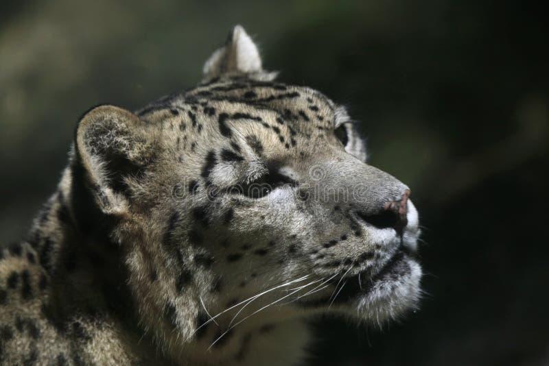 De luipaard van de sneeuw (pantherauncia) stock afbeelding