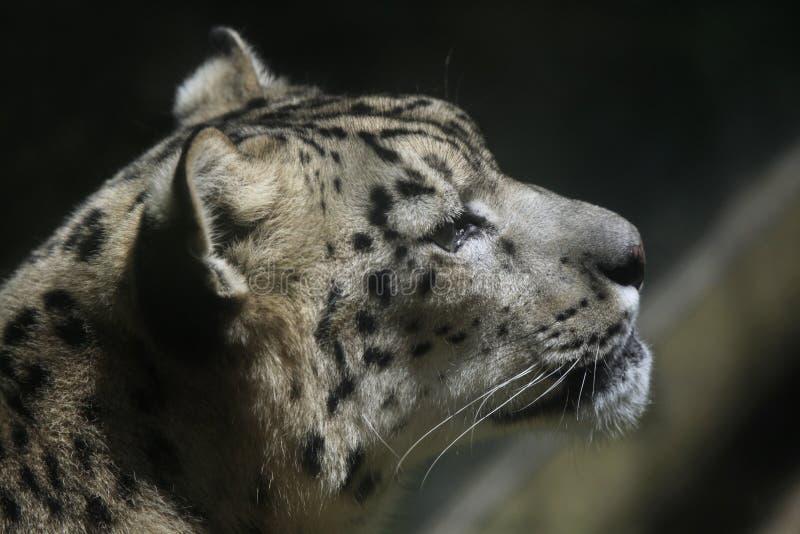 De luipaard van de sneeuw (pantherauncia) royalty-vrije stock afbeelding