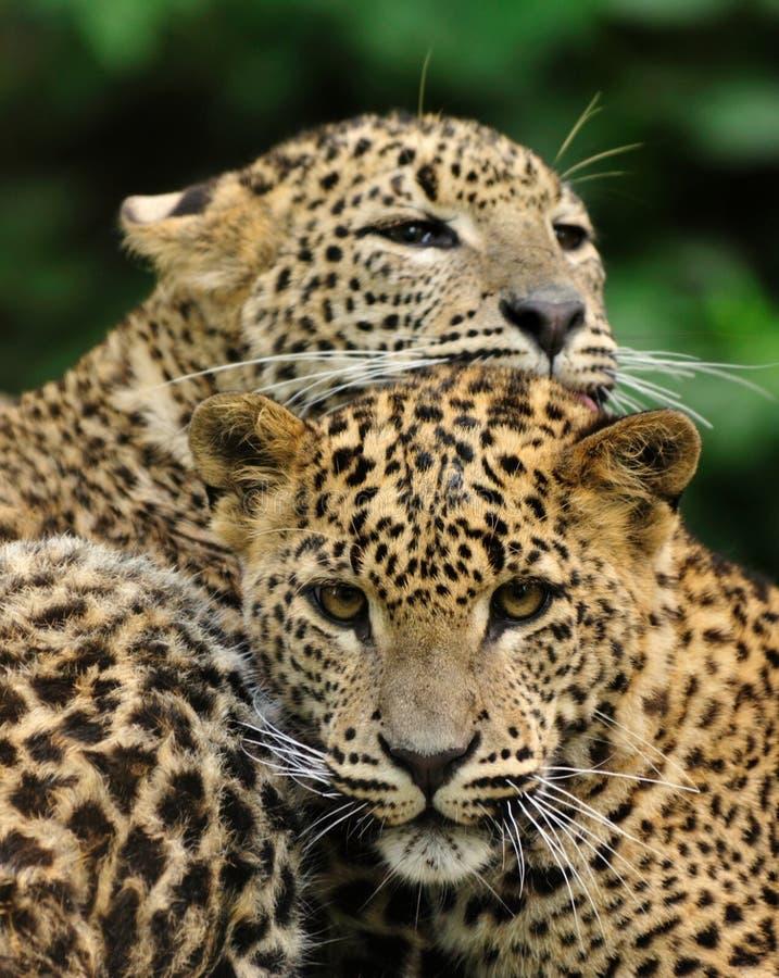 De Luipaard van Sri Lanka royalty-vrije stock fotografie