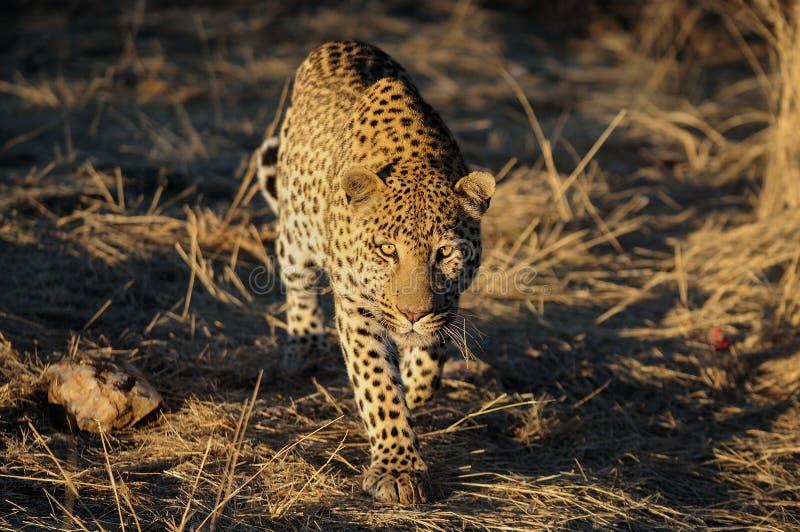 De luipaard ziet, Namibië eruit stock afbeelding