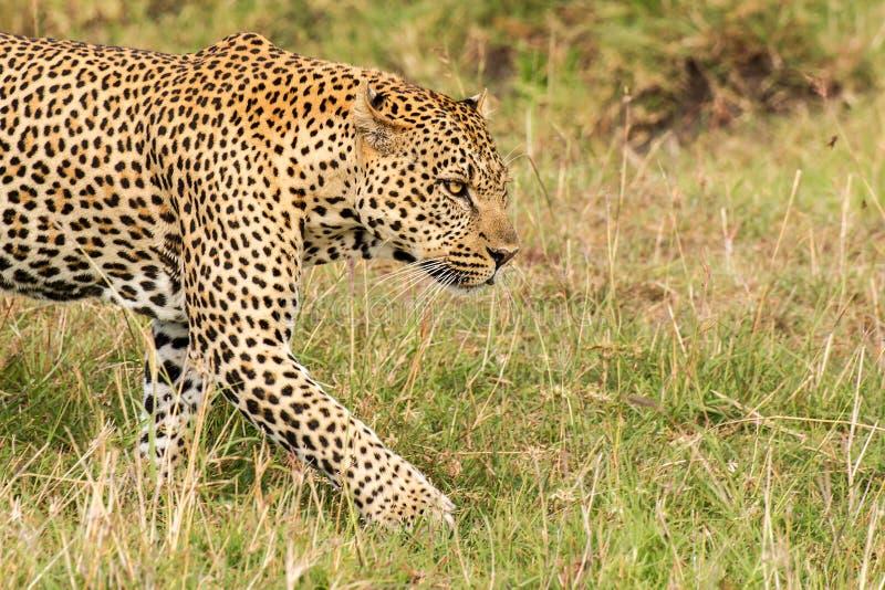 De luipaard zoekt een slachtoffer royalty-vrije stock afbeelding