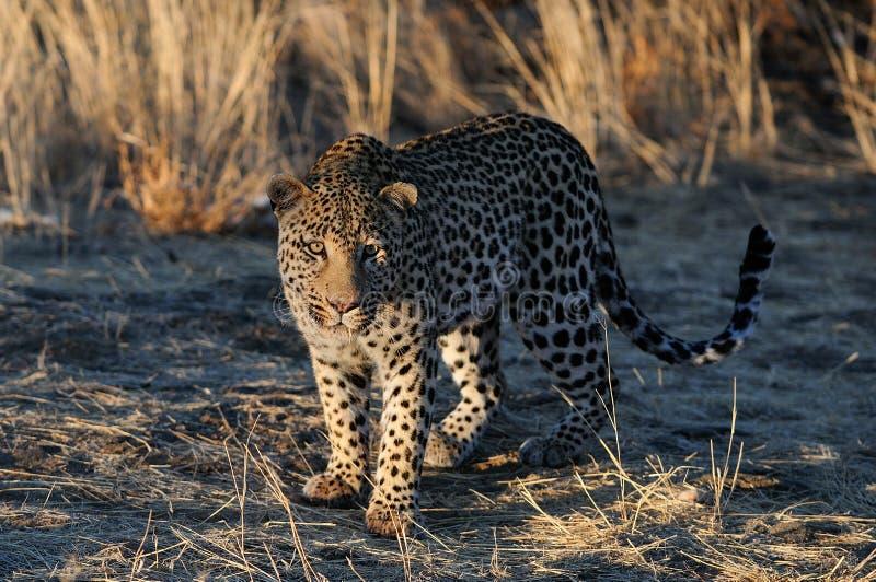 De luipaard zoekt vangst, Namibië royalty-vrije stock foto's