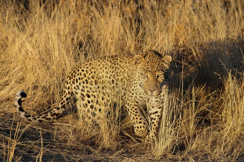 De luipaard zoekt vangst, Namibië stock afbeelding