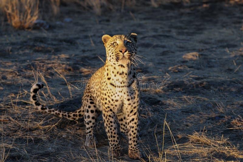 De luipaard zoekt vangst, Namibië stock afbeeldingen