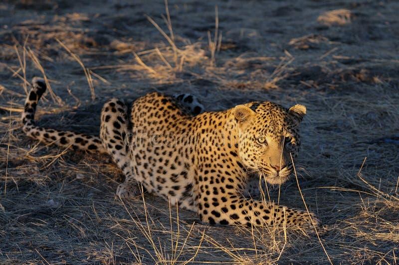 De luipaard zoekt vangst, Namibië stock fotografie