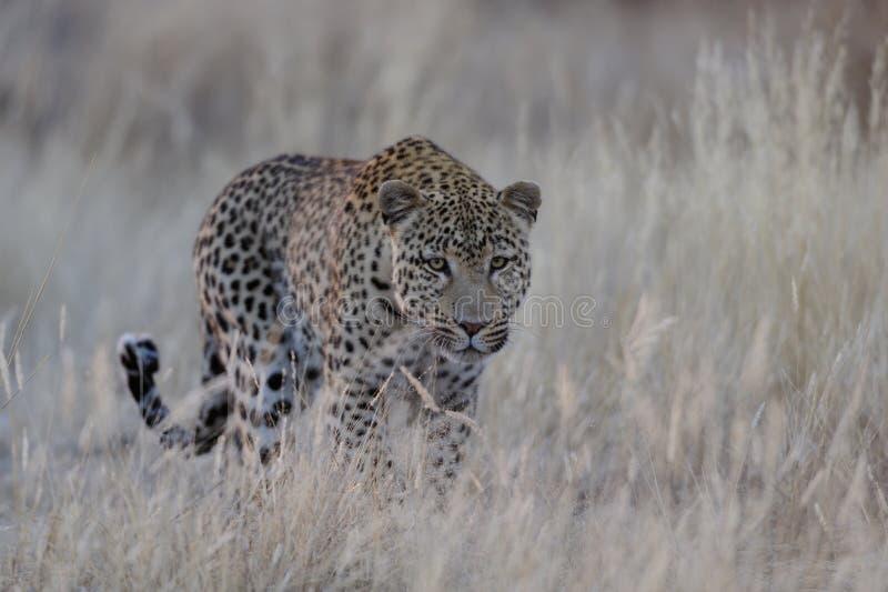 De luipaard zoekt vangst, Namibië royalty-vrije stock afbeelding