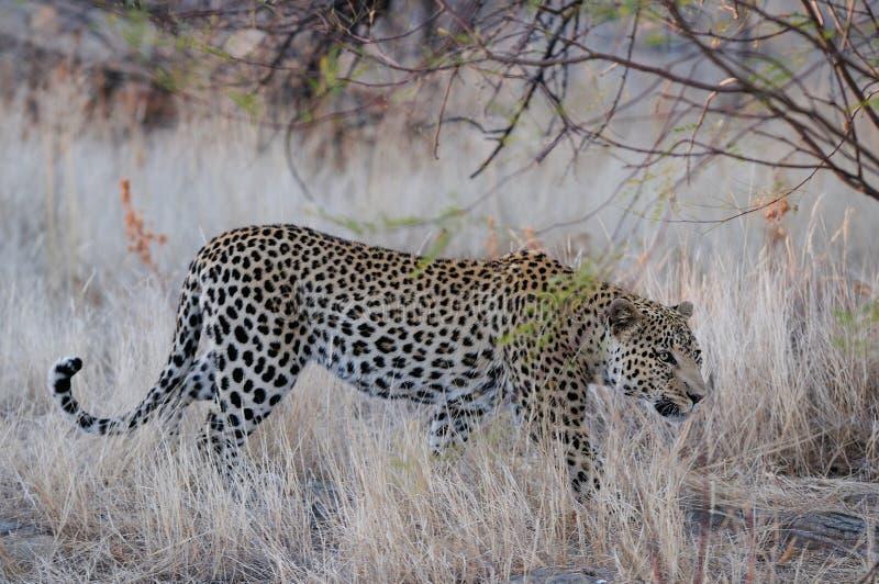 De luipaard zoekt vangst, Namibië stock foto