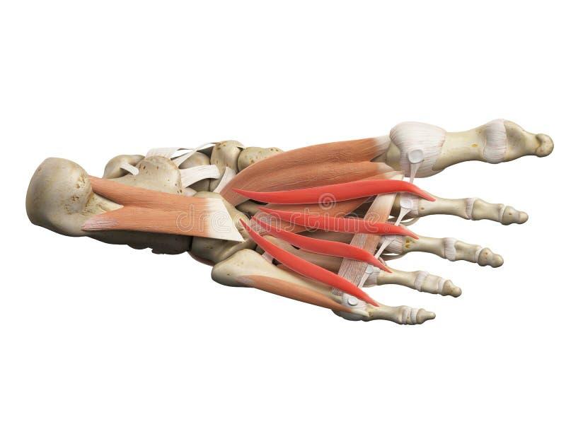 De lumbrical spieren vector illustratie