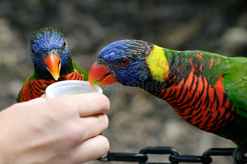 De Lunch van Lorikeet stock fotografie