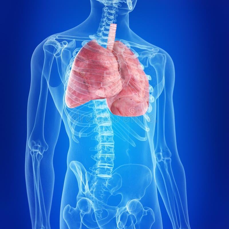De mänskliga lungorna royaltyfri illustrationer