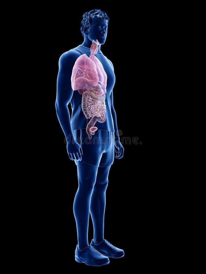 De mänskliga organen royaltyfri illustrationer