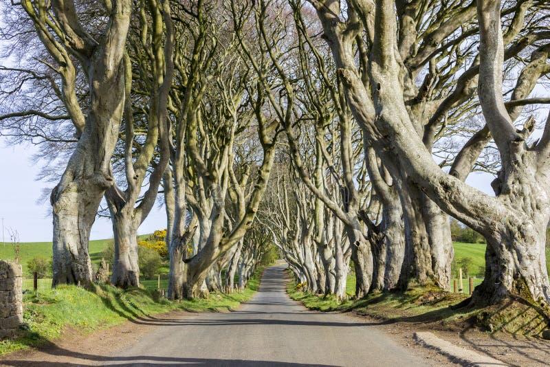 De mörka häckarna som är nordliga - Irland royaltyfri foto