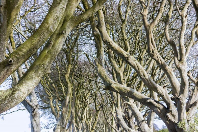 De mörka häckarna som är nordliga - Irland royaltyfria bilder