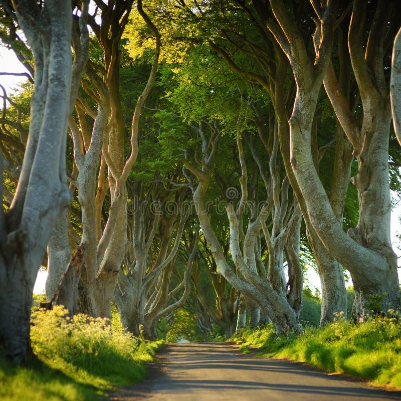 De m?rka h?ckarna, en aveny av boktr?dtr?d l?ngs den Bregagh v?gen i st?ndsm?ssiga Antrim Turist- dragningar i Nordirland arkivbilder