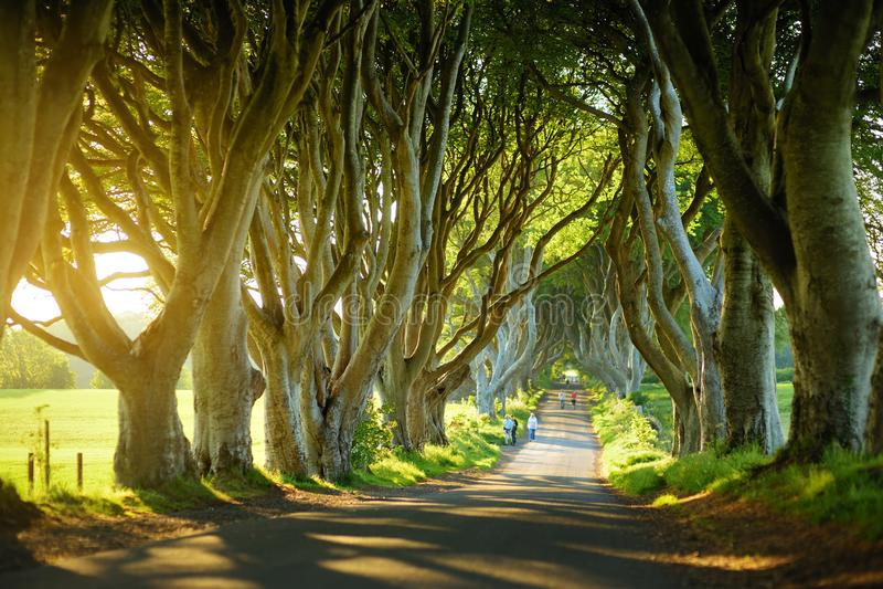 De m?rka h?ckarna, en aveny av boktr?dtr?d l?ngs den Bregagh v?gen i st?ndsm?ssiga Antrim Turist- dragningar i Nordirland arkivbild