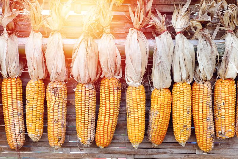 De maïs voor het fokken hangt omhoog voor het drogen met zonlicht royalty-vrije stock afbeeldingen
