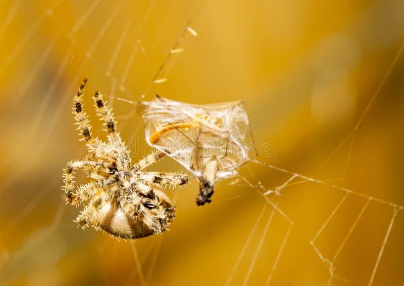 De Maaltijd van de spin stock afbeeldingen