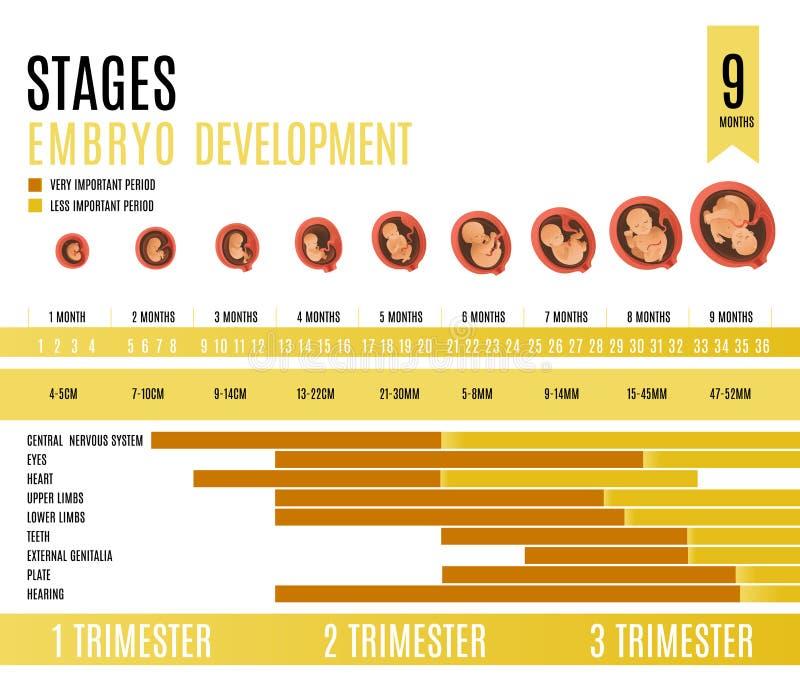De maand en de trimesterstadia vectorillustratie van de embryoontwikkeling vector illustratie