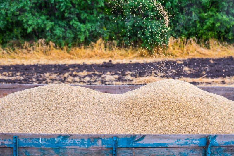De machine om korrelgewassen te oogsten - maaidorser in actie betreffende roggegebied bij zonnige de zomerdag Het Weergeven van c stock fotografie