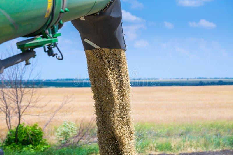 De machine om korrelgewassen te oogsten - maaidorser in actie betreffende roggegebied bij zonnige de zomerdag Het Weergeven van c stock afbeeldingen