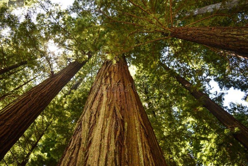 De machtige Californische sequoia's van Californië stock afbeeldingen