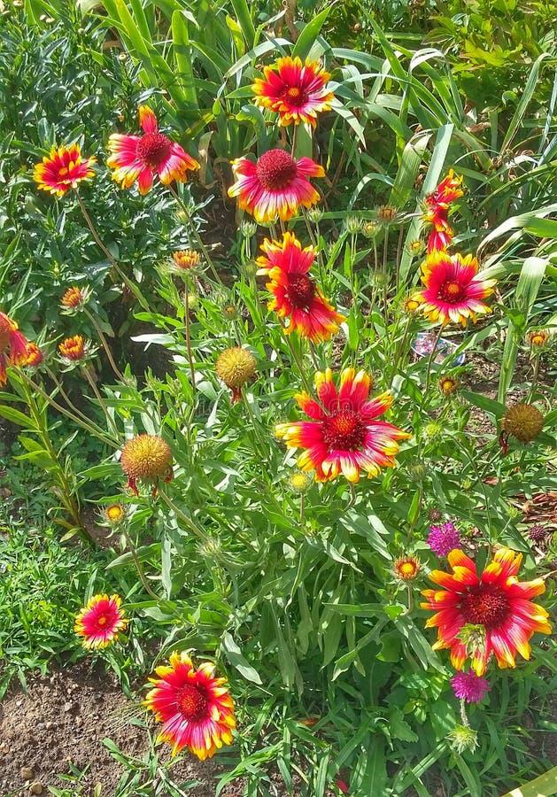De machtsod chrysantenbloemen royalty-vrije stock afbeeldingen