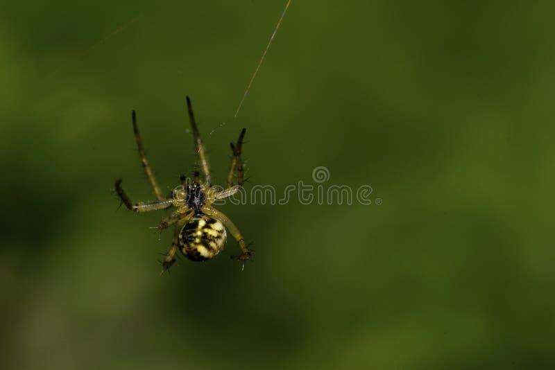 De macro broedde onlangs Kaukasische Araneus-spin op een groene backgrou uit stock fotografie