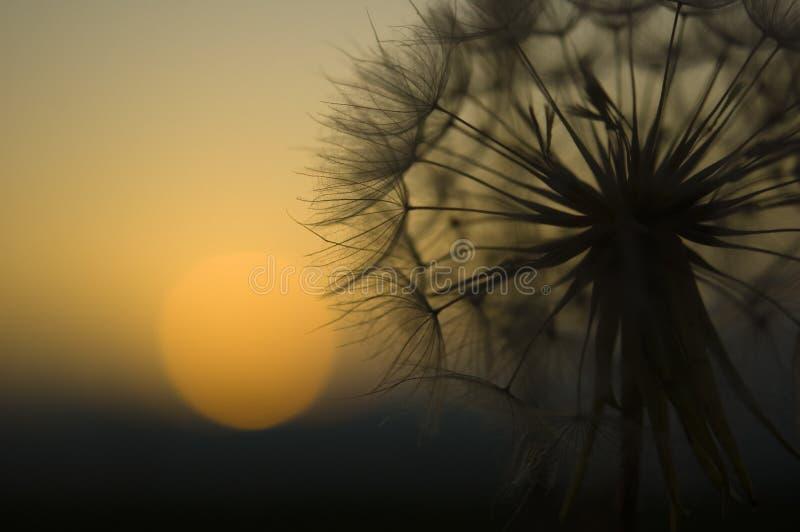 De macro en de zon van de paardebloem op achtergrond stock foto