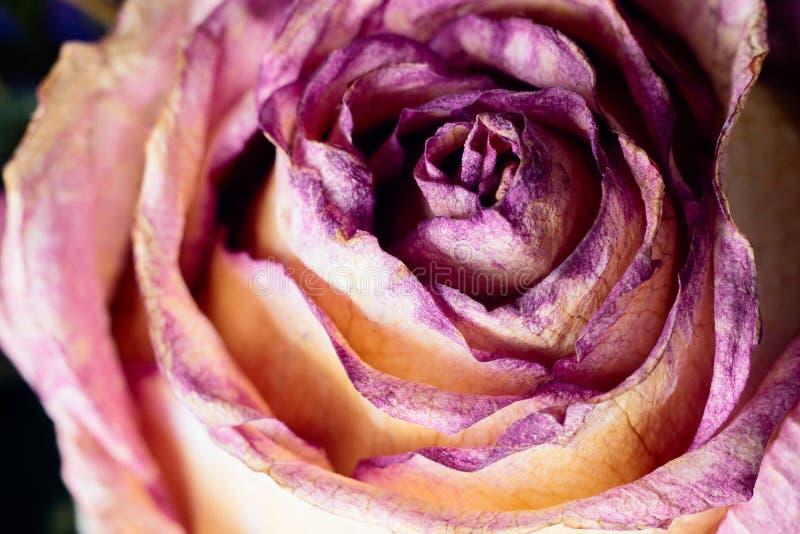 De macro met violette bloem nam, close-upbloemblaadjes toe E Abstracte bloemenachtergrond Het werk copyspace voor tekst stock fotografie