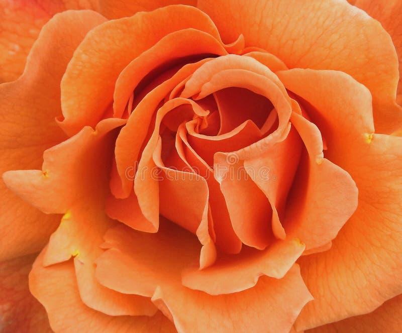De macro oranje close-up van de lente nam details tot bloemblaadjes toe royalty-vrije stock foto