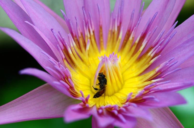 De macro van bij verzamelt geel stuifmeel van purpere lotusbloem royalty-vrije stock afbeelding