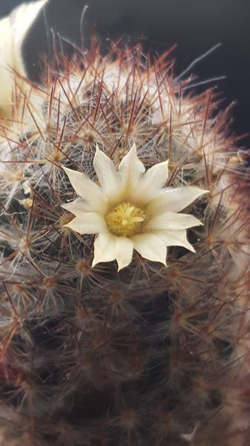 De macro van de cactusbloem royalty-vrije stock afbeeldingen