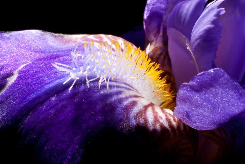 De macro van de iris stock foto